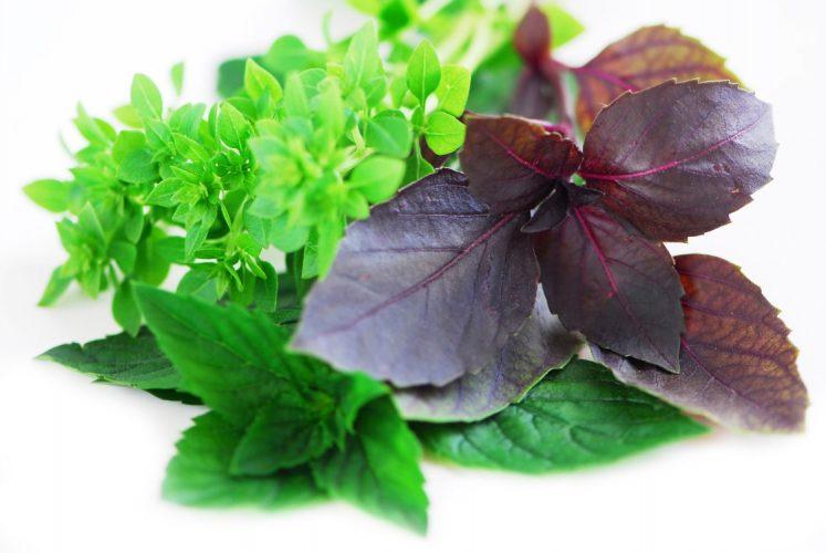 Польза и вред базилики для здоровья